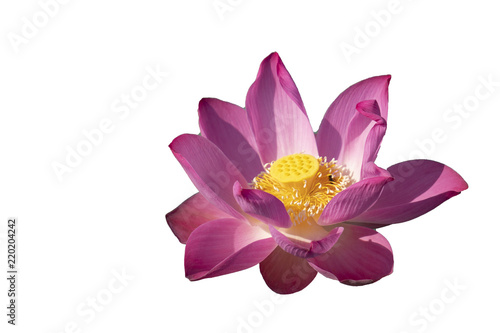 Fotografía  Fresh pink lotus petal flower isolated on white background