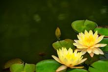 The Beautiful Yellow Lotus Wit...