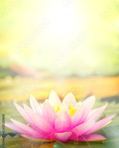 Foto op Aluminium Waterlelies The pink lotus that took a beautiful morning sun back.