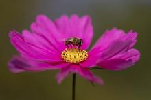 Fliege Auf Grosser Margerite Am Nektar Schlecken