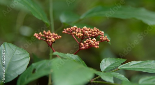 Photo red fruit in forest nature thailand