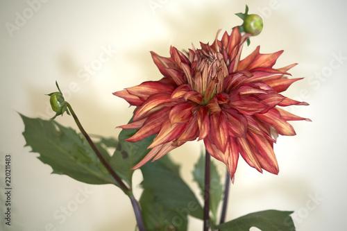 Foto op Canvas Dahlia Variety dahlia