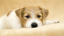 Web Banner Of A Cute Happy Jack Russell Terrier Pet Dog Puppy As Resting On The Sofa
