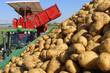 canvas print picture - Landwirtschaftliches Kartoffeln roden