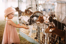 Cute 2 Year Old Girl Interacting With The Livestock At The Fair