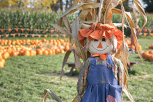 Cute, Festive Halloween Scarecrow Stands Guard In Front Of A Pumpkin Patch And Corn Field.