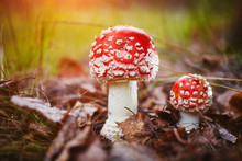 Amanita Muscaria, Poisonous Mushroom. Photo Has Been Taken In The Natural Forest Background