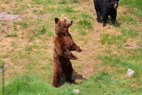 Foto  ours brun dans son parc au zoo