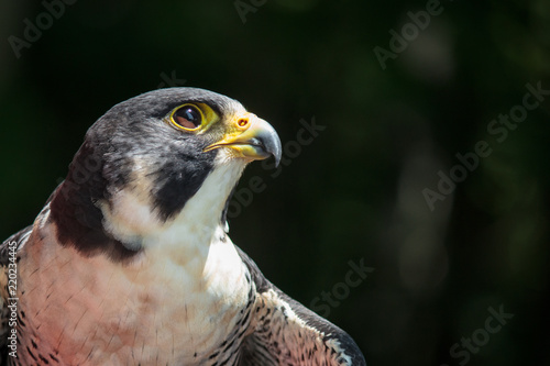 Photo Peregrine Portrait 3