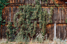 Old Wooden Shed Covered With Ivy