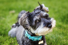 Portrait Of Mini Schnauzer