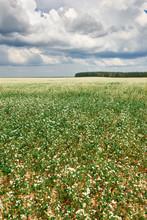 Flower Field, Flowering Buckwh...