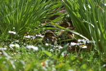 Ducklings Resting In The Daffo...