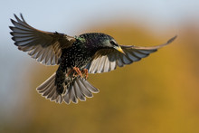 Flying Starling With Spreaded ...
