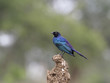 Ruppels long-tailed starling, Lamprotornis purpuroptera