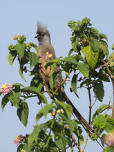 Speckled Mousebird, Colius Str...