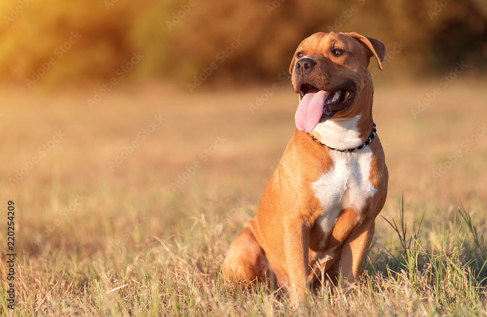Fototapety, obrazy: Strong and beautiful American staffordshire terrier portrait