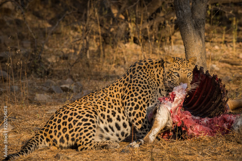 Tuinposter Luipaard A leopard with his hard earned trophy in a beautiful morning light at jhalana forest reserve