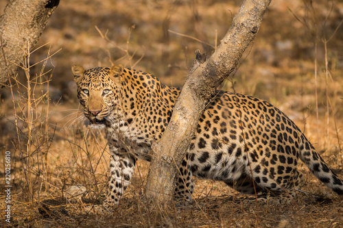 A leopard with his hard earned trophy in a beautiful morning light at jhalana forest reserve