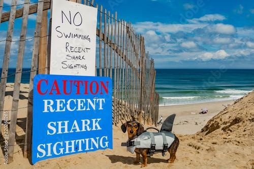 Fotografie, Obraz  Dachshund puppy in a shark costume at Cape Cod Massachusetts.