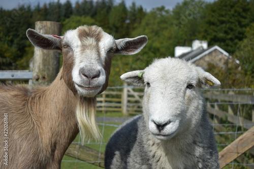 Sheep and goat staring at the camera Fototapeta