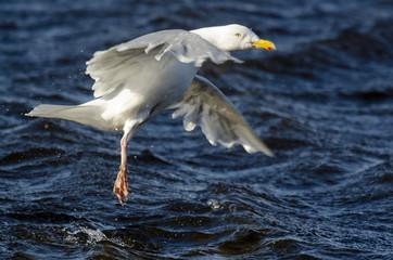Goéland bourgmestre,.Larus hyperboreus, Glaucous Gull