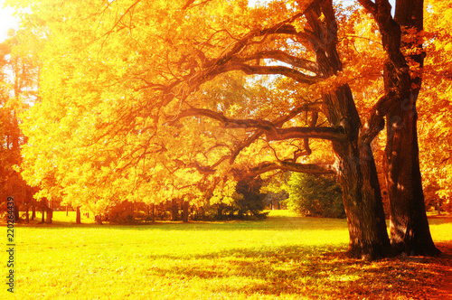 Poster Jaune Fall picturesque landscape. Fall trees with yellowed foliage in sunny October park lit by sunshine