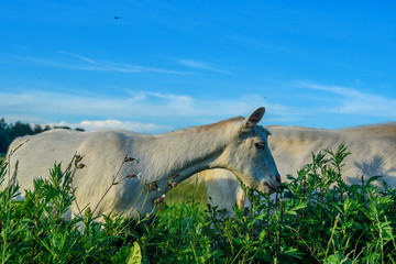 a goat grazes on a meadow
