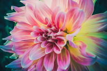Chrysanthemum With Pink And Ye...