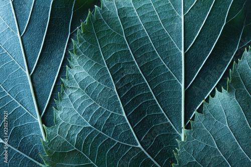 Deurstickers Macrofotografie Macro image of blue leaves, natural background