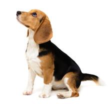 Beagle Dog Female Isolated On A White