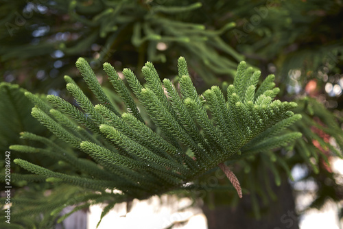 Photo Araucaria heterophylla