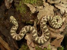 Western Hognose Snake Heterodon Nasicus In Terrarium