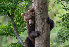 Young Brown Bear Embracing A T...