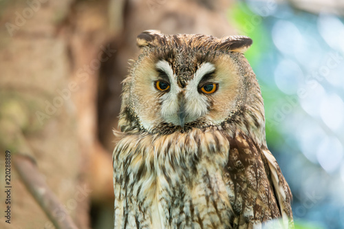 Fotografia, Obraz  portrait of a long eared owl on a soft colorful bokeh background