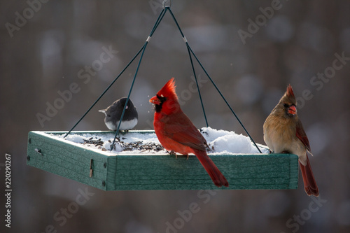 Photo  Pair of Red Cardinal Birds at a Feeder in the Winter Snow in Maryland Mid Atlant