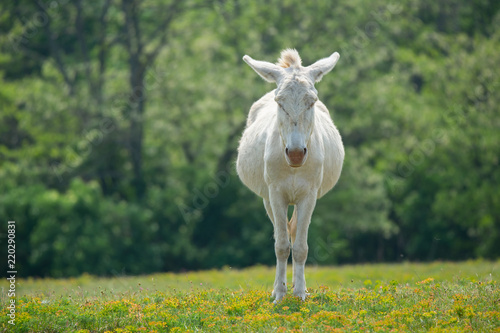 front view of a dozily white donkey standing in a flowery meadow - special breeding - Burgenland Austria