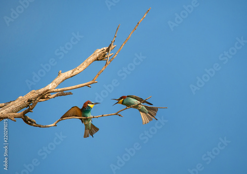 two male bee eaters on the branch fighting for a place on the tree - Burgenland Canvas-taulu