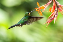 Green-crowned Brilliant, Helio...