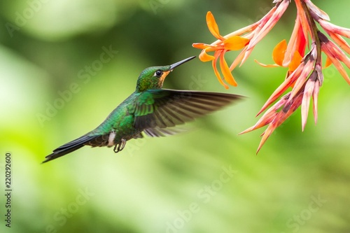 Fototapeta Green-crowned Brilliant, Heliodoxa jacula, hovering next to orange flower, bird