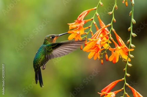 Recess Fitting Bird Green-crowned Brilliant, Heliodoxa jacula, hovering next to orange flower, bird from mountain tropical forest, Waterfall Gardens La Paz, Costa Rica, beautiful hummingbird sucking nectar from blossom