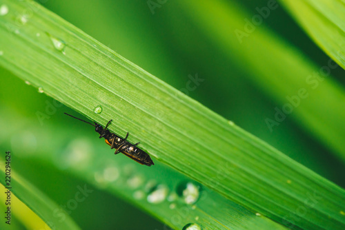 Fotografie, Obraz  Small beetle Cerambycidae on vivid shiny green grass with dew drops close-up with copy space