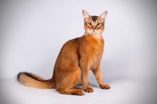 Somali Cat On Colored Backgrou...
