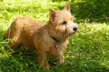 Norwich Terrier Puppy Stands I...