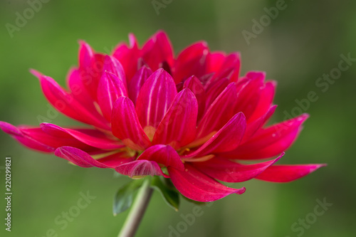 Fotografía  Side View of a Vibrant Pink Dahlia with a Green Background