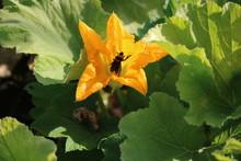 Squash Pollinator