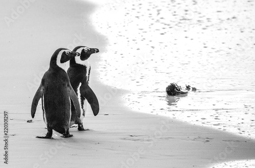 Two African penguins on a sandy beach. Simon's Town. Boulders Beach. South Africa.