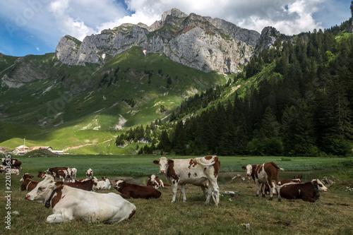 Troupeau de vaches dans les alpages , au pied des Cornettes de Bise , Massif du Fototapeta