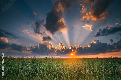 Summer Sunset Evening Above Countryside Rural Cornfield Landscape Tapéta, Fotótapéta