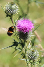 A Bumblebee Collects Pollen Of The Thistle Flower
